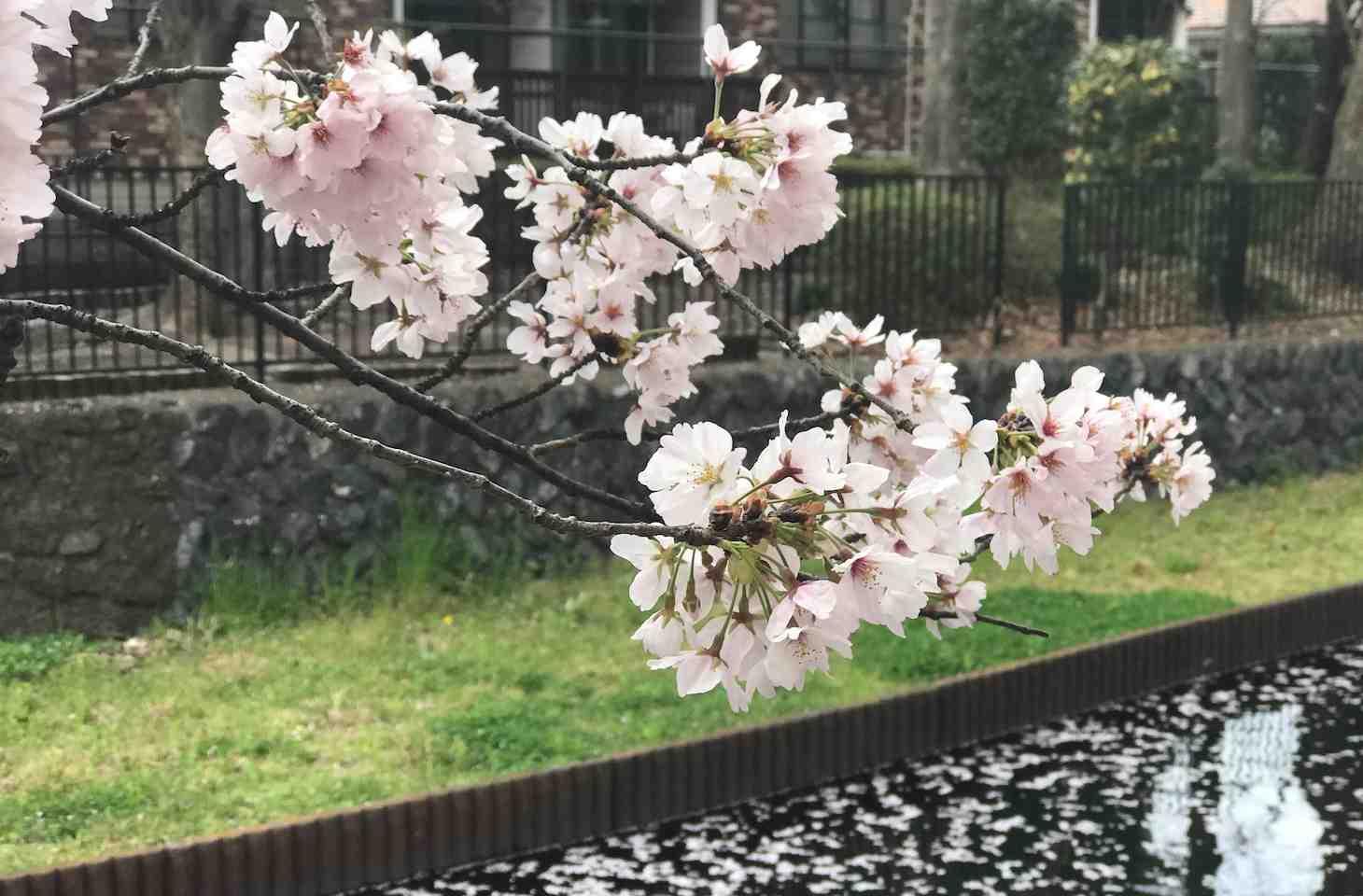 20.4マラナタ挿入 桜resized